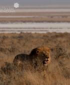 Namibia Lion Hunt 3