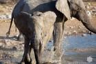 Namibia Young Elephant Playing 2