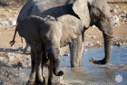 Namibia Young Elephant Playing