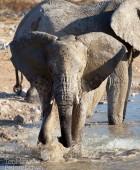 Namibia Young Elephant Playing 3