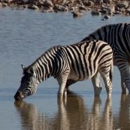 Namibia Young Zebra Drinking