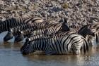 Namibia Zebras Drinking
