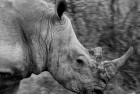 Rhino Madikwe B&W