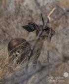 Steenbok 2