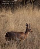Steenbok 3