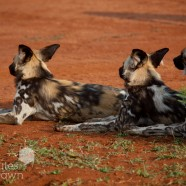 Wild Dogs Group Madikwe