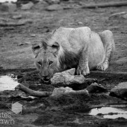 Young Lion Drinking B&W Madikwe