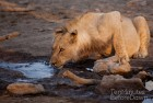 Young Lion Drinking Madikwe